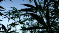 Marijuana silhouette video