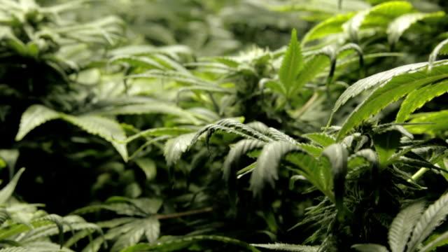 Marijuana, weed, buds, cannabis, plant, pot video