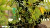 marijuana weed field CU video