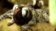 Marmoset monkey video