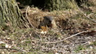 Marmot leaving its den video