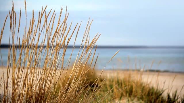 marram grass in front of the ocean video