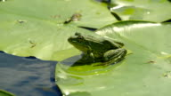 Marsh frog on a water lilies leaf video