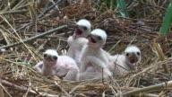 Marsh Harrier Chicks Close-up video