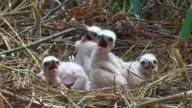 Marsh Harrier Chicks video