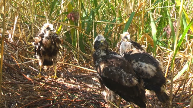Marsh Harrier Chicks Waiting for Food video