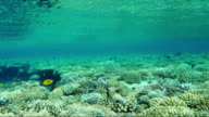 Masked puffer fish, endemic in the Red Sea. Underwater video video