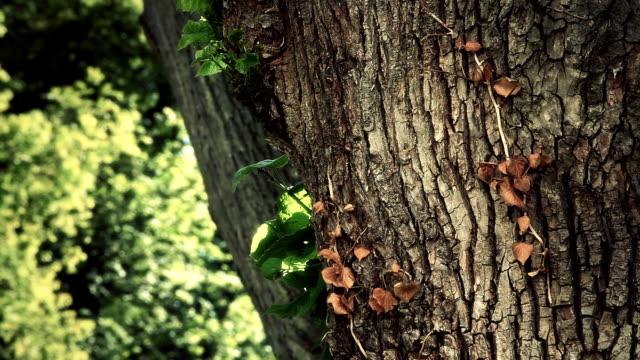 massive tree - close up video