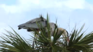 Mated Pair of Herons Arranging Sticks in Their Nest video