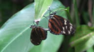 Mating butteflies, Heliconius video