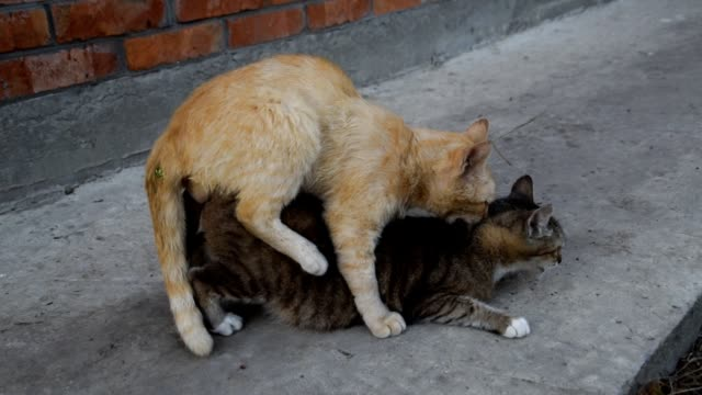 Mating domestic cats video