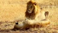 Mating lions in Masai Mara video