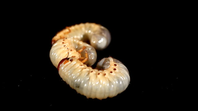 Mature larva (L3) of a  rhinoceros beetles video
