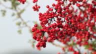 Mature nice red hawthorn berries video