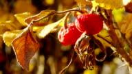 Mature rosehip video