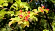 Maturing red Viburnum berries on the branch video