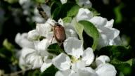 May bug on flowering apple tree video