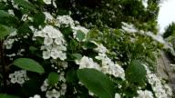 May Bush Flower video