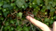 Maikäfer klettert an einem Finger - Maybug climbing on a finger video