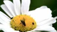 A mayweed flower with a fly and some pests 4K FS700 Odyssey 7Q video