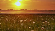 DS Meadow full of dandelions at sunrise video