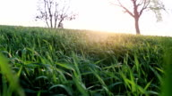 Meadow, grass and wheat field during sunset video