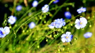 Meadow of blooming blue flaxes video
