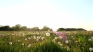 Meadow Of Perfect Round Dandelion Blowballs video