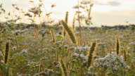 HD DOLLY: Meadow Plants At Sunset video