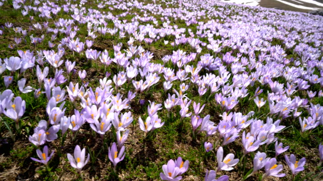 meadow with crocuses in the foothills video