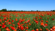 Meadow with flowers poppies on a sunny day video