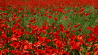 Meadow with flowers poppies video