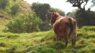 Meat cows in La Reunion Island video
