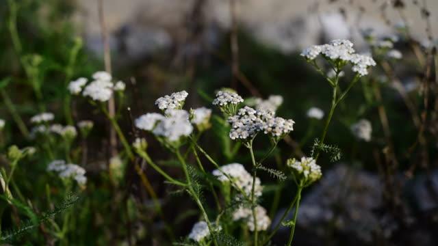 Medicinal herb - Achillea millefolium, yarrow video