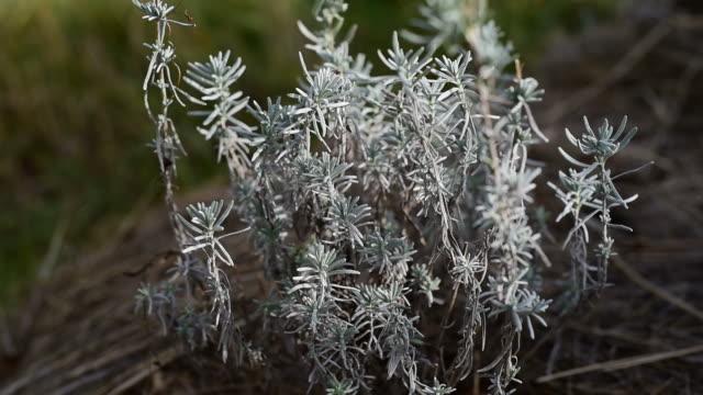 Medicinal herb  - Lavandula, Lavender video