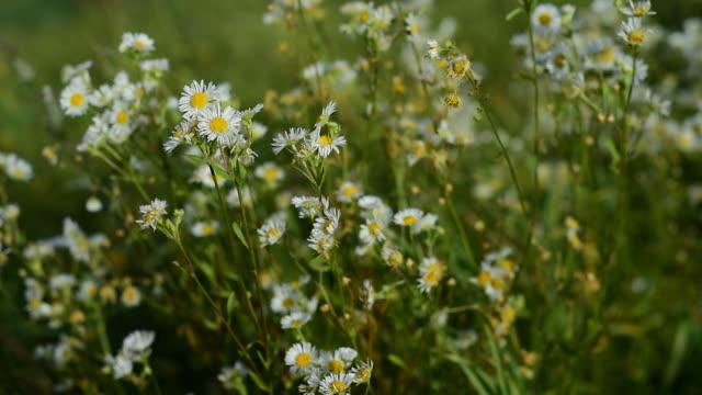 Medicinal herb - Leucanthemum vulgare, oxeye daisy video
