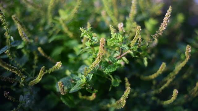 Medicinal herb - Mentha spicata, mint video