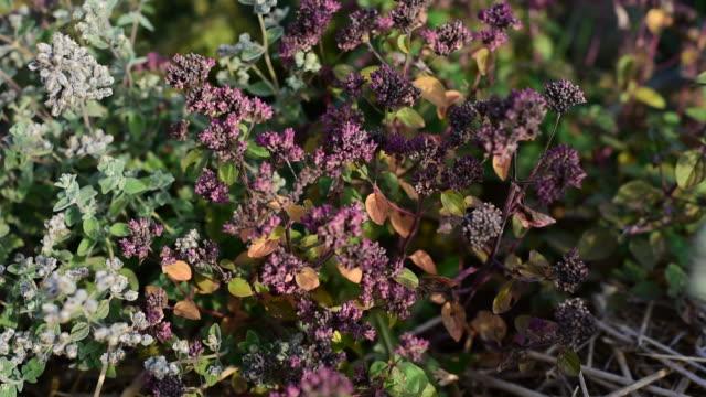 Medicinal herb - Origanum majorana left,  Origanum vulgare right video