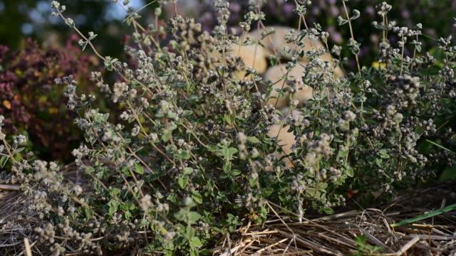 Medicinal herb - Origanum majorana, marjora, majorana video