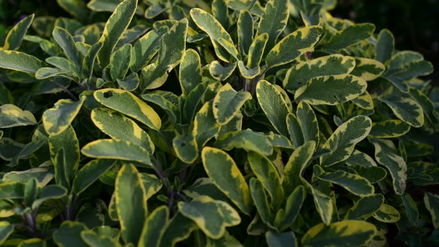 Medicinal herb - Salvia officinalis, sage video