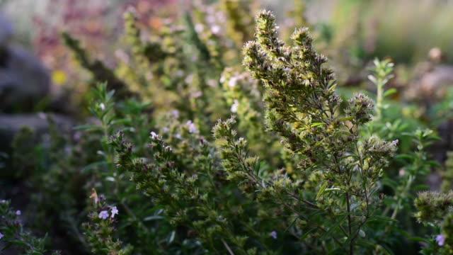 Medicinal herb - Satureja hortensis, Savory video