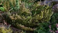 Medicinal herb  - Thymus vulgaris, thyme video