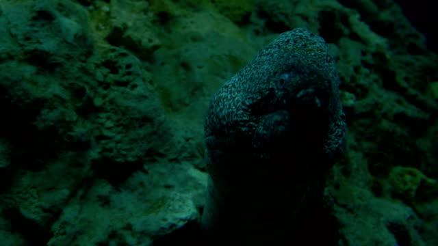 Mediterranean Moray video
