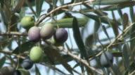 Mediterranean olives in branch video
