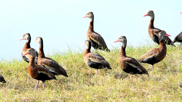 Medium group of lakeside Black-bellied Whistling ducks in morning light video