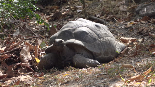 medium shot of a huge turtle moving his head video