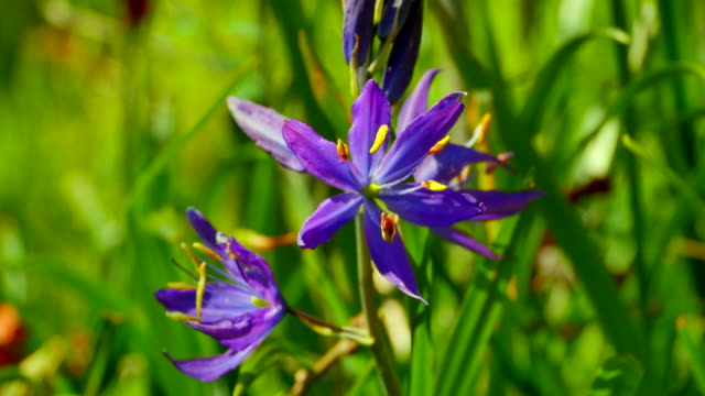 Medium Shot of Common Camas, Camassia Quamash on a Bright Spring Day video