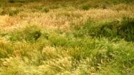 Medium static shot of swaying grassy field video