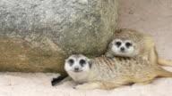 Meerkat, 4K(UHD) video