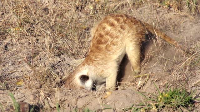 Meerkat digging for food, Botswana video